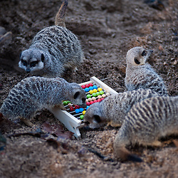 London, UK - 2 January 2014:  meerkats play around a colorful abacus during the annual animal stocktake at ZSL London Zoo. The compulsory count is required as part of ZSL London Zoo's zoo license and the results are logged into the International Species Information System (ISIS), where the data is shared with zoos around the world and used to manage the international breeding programmes for endangered animals.