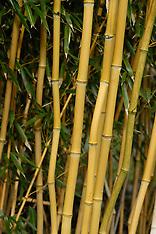Bambu-Bamboe