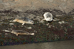 Harbor Seals on Rock off San Juan Island, Washington, US