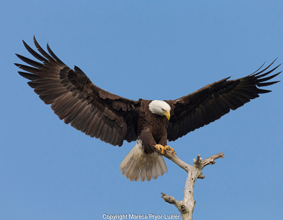 Bald eagle landing on stag, Haliaeetus leucocephalus, drying out wings, Southwest Florida