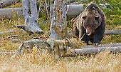 Wolves and Grizzly Bears