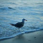 A Seagull enjoys the cool Pacific waters as the waves make there way up Laguna Beach on a fine summer evening.