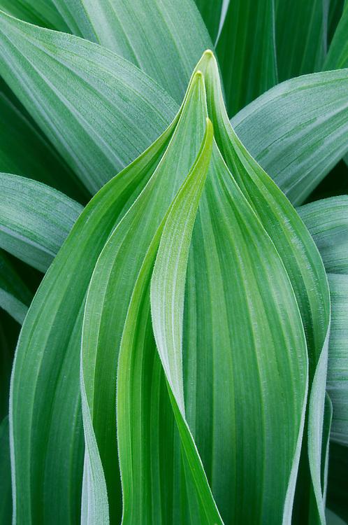 False Hellebore leaves emerging in spring.