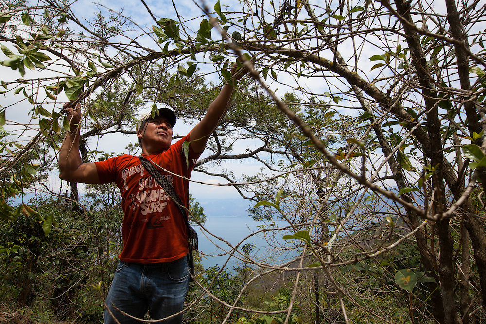 Nicolas Leja picks dead branches off an aging coffee plant attacked by coffee rust in the village of Tzampetey, Guatemala. The plant-choking fungus has ravaged farms across Central America in recent years, withering trees and slashing production, which has sent economic damages rippling through local communities.