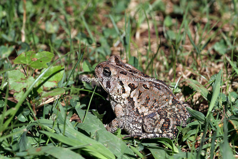 An American Toad, Bufo americanus, sitting in the grass. Leamings Run Gardens, Cape May Court House, New Jersey, USA, North America.