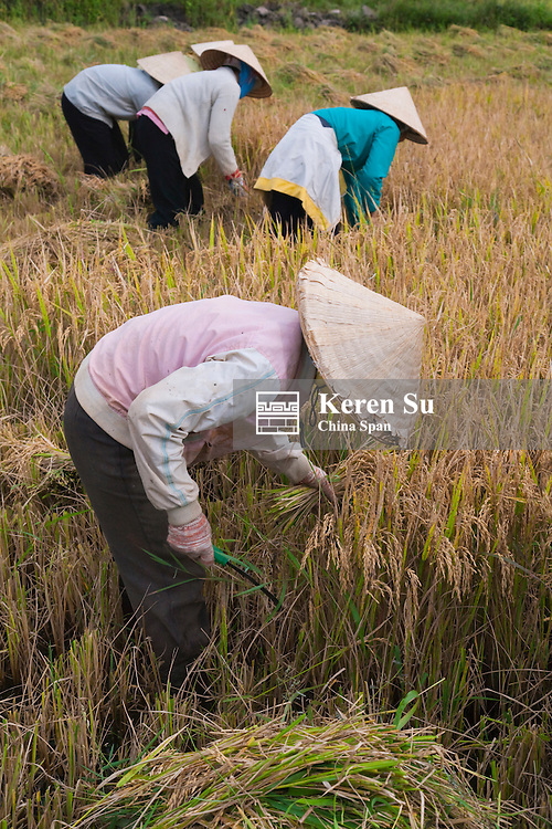 Farmers wearing conical hat harvesting rice.