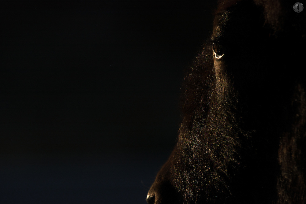 A bison (Bison bison) closeup of eye details, taken against sunset side-lighting, low key. Taken in Yellowstone National Park, Wyoming, USA.
