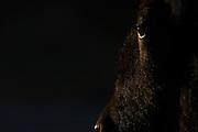 A bison (Bison bison) closeup of eye details, taken against sunset side-lighting, low key. Taken in Yellowstone National Park, Wyoming, USA.