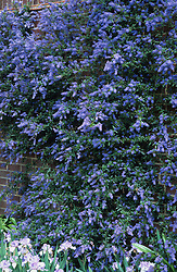Ceanothus 'Cascade' growing on a wall above Iris 'Happy Mood'