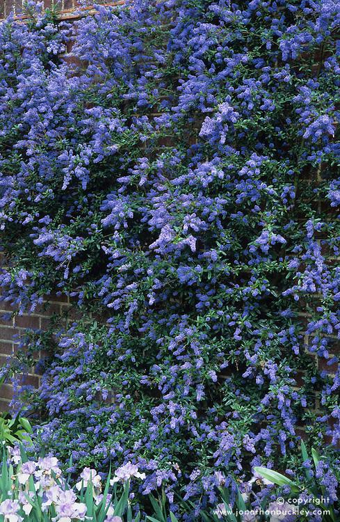Ceanothus 'Cascade' growing on a wall above Iris 'Happy Mood'