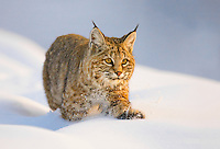 A bobcat hunting along the snow covered banks of the Madison River in Yellowstone National Park