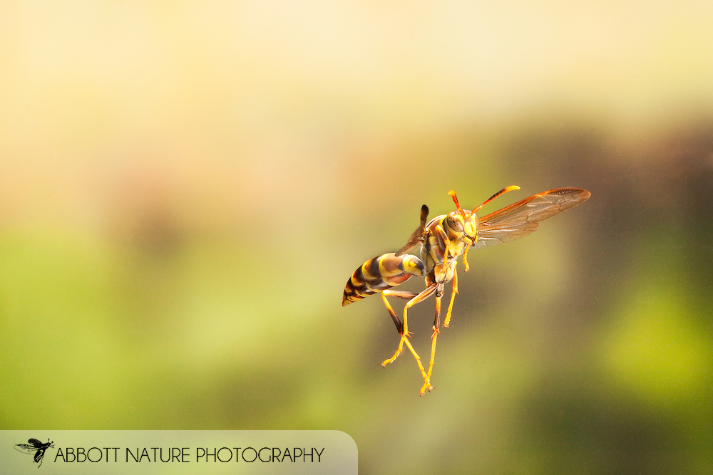 Polistes sp. (Paper Wasp) - in flight, captured using high speed flashes<br /> TEXAS: Travis Co.<br /> Brackenridge Field Laboratory; Austin<br /> 18.March.2009<br /> J.C. Abbott