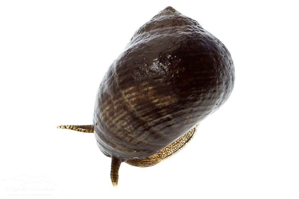 Common Periwinkle, Littorina littorea, found in the Atlantic Ocean in Rye, New Hampshire.