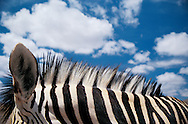 Detail of zebra neck and mane with blue sky and white puffy clouds behind.