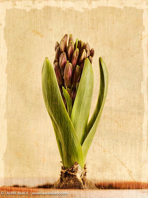 Sprouting botanical