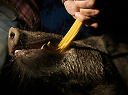 "Mann füttert Wildschweinkeiler (Sus scrofa) ""Mülli"" mit Spaghetti aus der Hand, Berlin, Deutschland. Man hand-feeds male boar ""Muelli"" with spaghetti, Berlin, Germany."