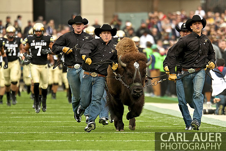 November 3, 2012:  Ralphie the Buffalo leads the football team onto the gridiron prior to action during the NCAA Football game between the Stanford Cardinal and the University of Colorado Buffalos at Folsom Field in Boulder, CO