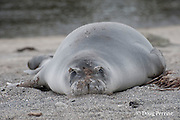 Hawaiian monk seal, Monachus schauinslandi ( Critically Endangered ), 2.5 year old male finishing annual molt with patches of old fur still clinging to forehead, snout, and flippers, Pu'uhonua o Honaunau ( City of Refuge ) National Historical Park, Kona, Hawaii ( the Big Island )