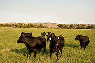 Black Angus cattle, ranch, Montana