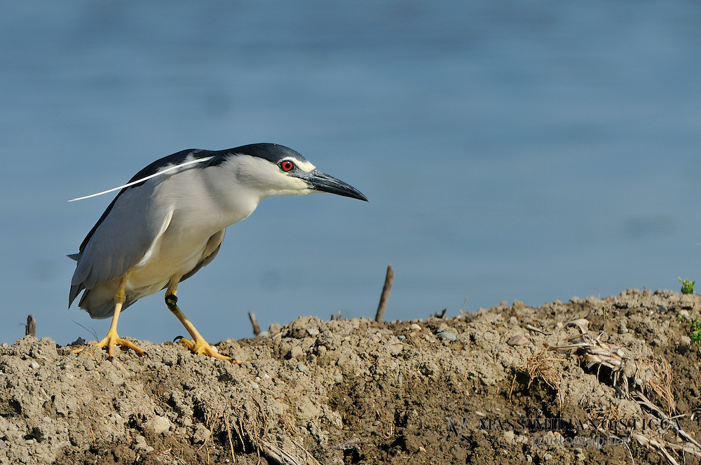 The Black-crowned Night Heron (Nycticorax nycticorax), commonly abbreviated to just Night Heron in Eurasia, is a medium-sized heron found throughout a large part of the world, except in the coldest regions and Australasia (where replaced by the closely related Rufous Night Heron, with which it has hybridized in the area of contact).Adults are approximately 64 cm (25 in) long and weigh 800 g (28 oz). They have a black crown and back with the remainder of the body white or grey, red eyes, and short yellow legs. They have pale grey wings and white under parts. Two or three long white plumes, erected in greeting and courtship displays, extend from the back of the head. The sexes are similar in appearance although the males are slightly larger. Black-crowned Night Herons do not fit the typical body form of the heron family. They are relatively stocky and about 25 in tall (63 cm) with shorter bills, legs, and necks than their more familiar cousins the egrets and &quot;day&quot; herons. Their resting posture is normally somewhat hunched but when hunting they extend their necks and look more like other wading birds.<br /> Immature birds have dull grey-brown plumage on their heads, wings, and backs, with numerous pale spots. Their underparts are paler and streaked with brown. The young birds have orange eyes and duller yellowish-green legs. They are very noisy birds in their nesting colonies, with calls that are commonly transcribed as quok or woc, woc.