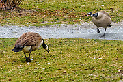 Pair of Canada geese angrily squawking at each other
