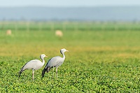 A Blue Crane pair stands in a green farm field, Agulhas Plain, Overberg, Western Cape, South Africa