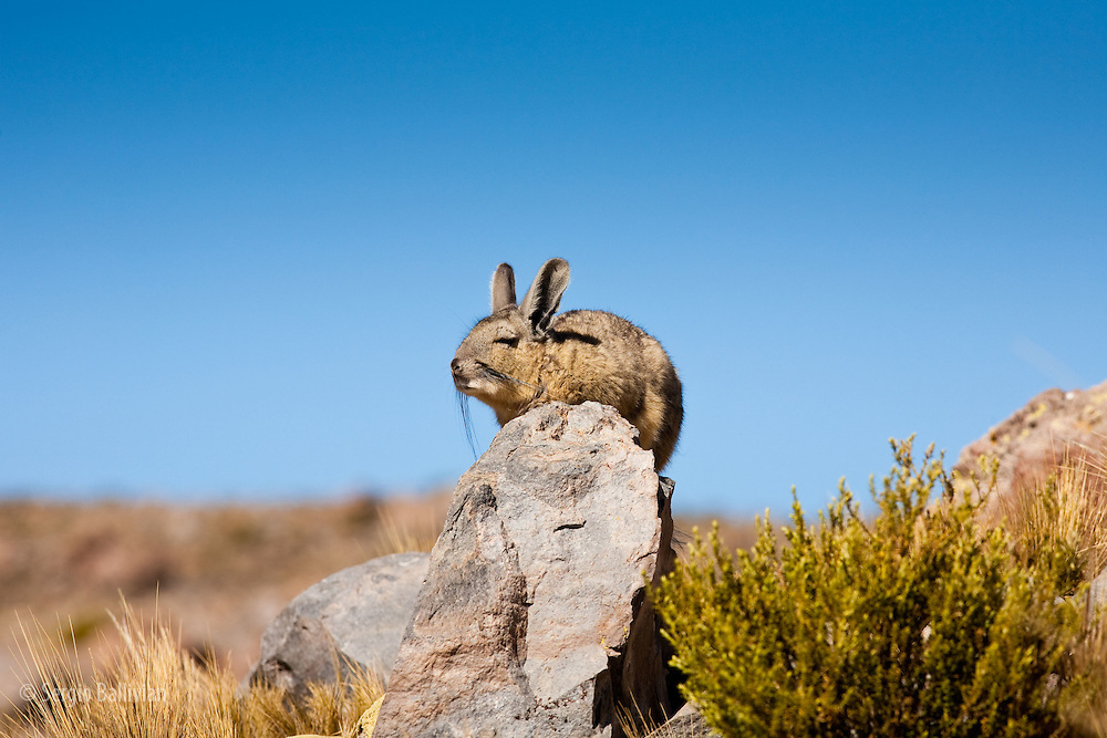 A Viscacha (LAGIDIUM VISCACCIA) rests on a rock while taking in some Andean sunshine in the high puna and altiplano of the Andes region.