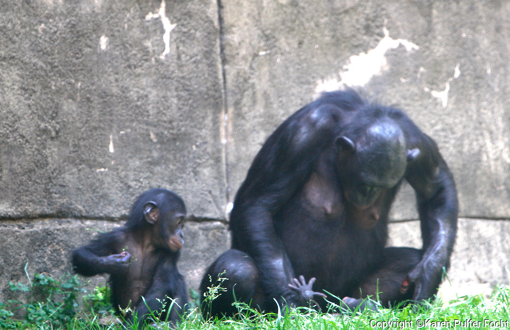"""May 22, 2014 - The second bonobo baby in two years, was born at the Memphis Zoo recently. """"Mpingo"""", a baby boy was  born to parents """"Lily"""" and """"Mofana""""  on April 28th. Bonobo's are endangered and are also a matriarchal society. All the females int he troop will help raise Mpingo along with his half-brother, """"Mobali"""" who was born last May. The mother and newborn play."""