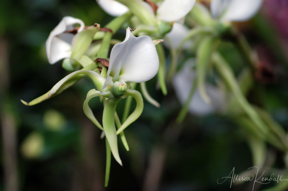 The elongated and pointed white and green petals of a stem of orchid flowers seem to dance