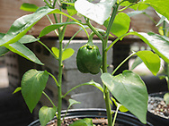 Harmony Farm, Goshen, NY  - peppers