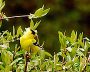 male gold finch in spring