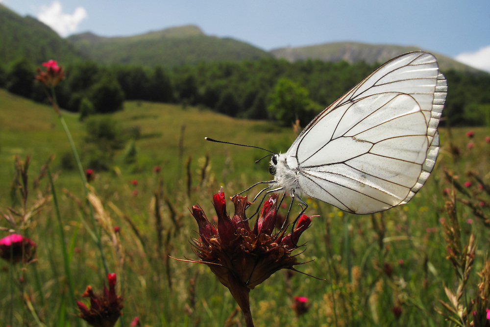 Black-veined White butterfly, Aporia crataegi, on Carthusian Pink,  Dianthus carthusianorum, Mountain pasture, Mount Baba (1635 m) in Galicica National Park, Macedonia, with Mount Magaro / Marapo (2254m) in background.<br /> Stenje region, Lake Macro Prespa (850m) <br /> Galicica National Park, Macedonia, June 2009<br /> Mission: Macedonia, Lake Macro Prespa /  Lake Ohrid, Transnational Park<br /> David Maitland / Wild Wonders of Europe