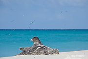 Hawaiian monk seals, Monachus schauinslandi, Critically Endangered Species, Sand Island, Midway, Atoll, Midway Atoll National Wildlife Refuge, Papahanaumokuakea Marine National Monument, Northwest Hawaiian Islands ( Central North Pacific Ocean )