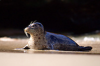 To get a dramatic photo, I used the dark background to emphasize this side lit La Jolla Harbor Seal
