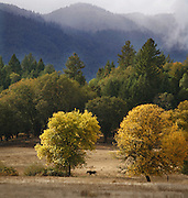 The trees begin to turn color as fall approaches on a ranch in Northern California as a horse grazes.