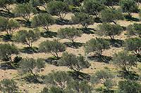 Olive trees (Olea europea) in dry landscape, Palekastro, Crete