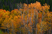 Aspen grove in Sawtooth National Forest