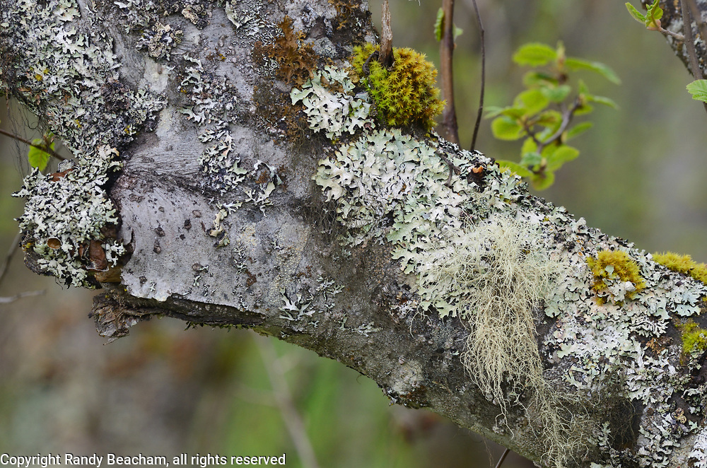 A variety of lichen species on an alder branch. Yaak Valley in the Purcell Mountains, northwest Montana.
