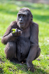 01.04.2016, Zoo, Duisburg, GER, Tiere im Zoo, im Bild Gorillaweibchen sitzt fressend im Gehege // during visit to the Zoo. Duisburg, Germany on 2016/04/01. EXPA Pictures © 2016, PhotoCredit: EXPA/ Eibner-Pressefoto/ Hommes<br /> <br /> *****ATTENTION - OUT of GER*****