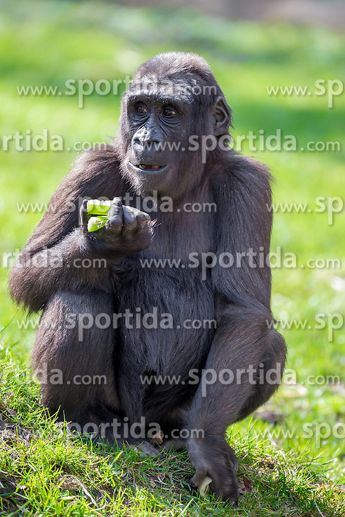 01.04.2016, Zoo, Duisburg, GER, Tiere im Zoo, im Bild Gorillaweibchen sitzt fressend im Gehege // during visit to the Zoo. Duisburg, Germany on 2016/04/01. EXPA Pictures &copy; 2016, PhotoCredit: EXPA/ Eibner-Pressefoto/ Hommes<br /> <br /> *****ATTENTION - OUT of GER*****