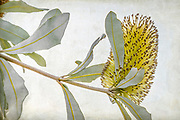 Banksia Marginata commonly known as Silver Banksia, is one of the 173 Banksia species in the plant family Proteaceae, and found in the South West region of Western Australia.