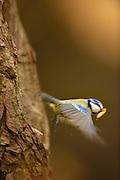 The blue tit (Parus caeruleus) on oak. National Park Saxon Switzerland (Saechsische Schweiz), Germany. | Die Blaumeise (Parus caeruleus) im Flug mit Drahtwurm. Niedersächsische Elbtalaue, Deutschland