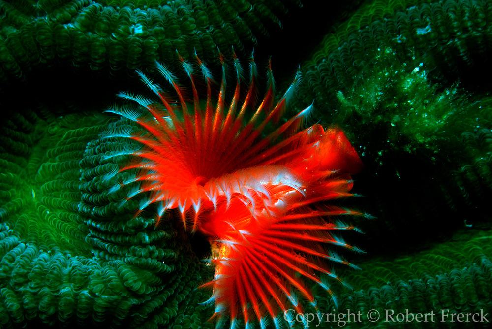 UNDERWATER MARINE LIFE CARIBBEAN, generic Tube worm Pomatosegus stellatus