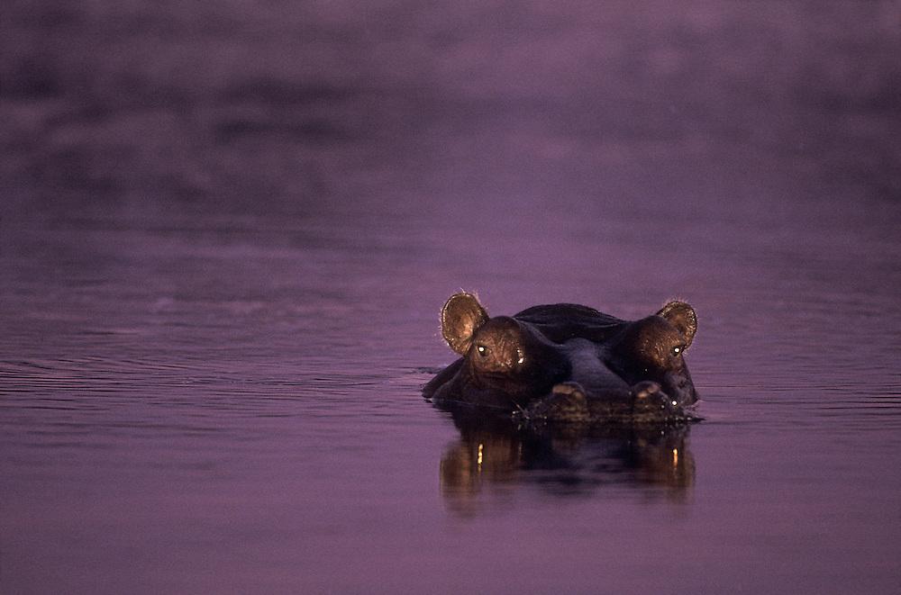 Botswana, Moremi Game Reserve, Flash image of Hippopotamus (Hippopotamus amphibius) yawning in Khwai River at dusk