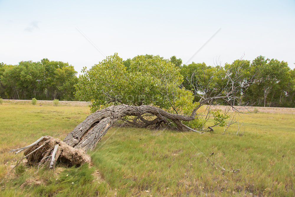 fallen tree in The Bosque Apache National Wildlife Park in New Mexico