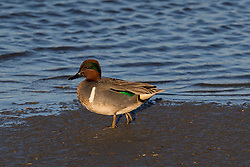 Green-winged Teal (Anas crecca) duck, adult male, Palo Alto Baylands, Palo Alto, California, United States of America