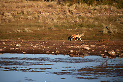 NAMIBIA ETOSHA 29APR14 - A silver-backed jackal surveys his territory at a waterhole near Namutoni, Etosha National Park, Namibia.<br /> <br /> <br /> <br /> jre/Photo by Jiri Rezac<br /> <br /> <br /> <br /> © Jiri Rezac 2014