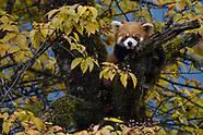 Sichuan - Red pandas in Laba He