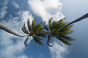 Coconut Palm (Cocos nucifera)<br /> Ambergris Caye<br /> Lighthouse Reef Atoll<br /> BELIZE, Central America