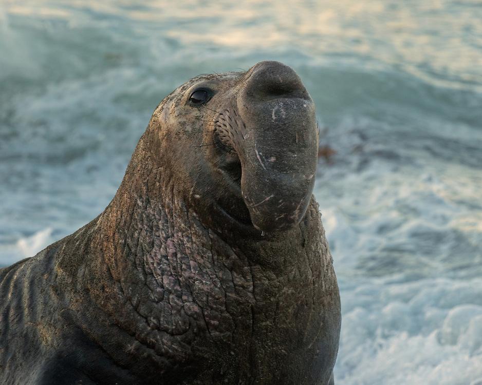 northern elephant seal (Mirounga angustirostris) bull, The Piedras Blancas Elephant Seals Beach, San Simeon, California